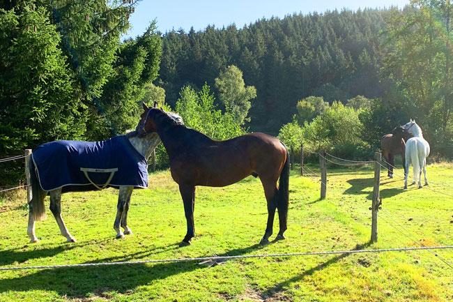 Vier Pferde auf der Weide